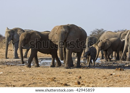 a Group of African elephants at waterhole; Loxodonta Africana