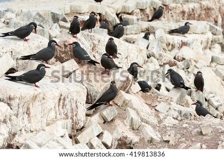 A group of birds known as Charran Inca, scientific name Larosterna Inca, typical from deserted coasts of Peru and Chile.  Image taken in Iquique, Chile