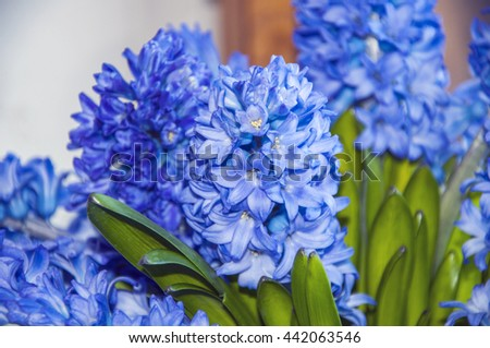 A group of blooming with blue little flowers hyacinths with green leaves. Many flowers on a branch. White flower edge.  - stock photo