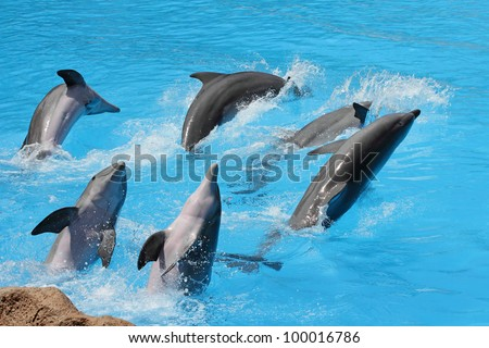 A group of  bottlenose dolphins ( Tursiops truncatus) diving out of the water - stock photo