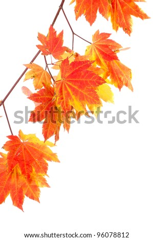 A group of bright colorful maple leaves isolated on white - stock photo