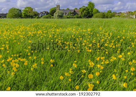 A group of buittercups in the countryside. - stock photo