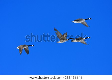 A group of Canadian Geese, Branta canadensis flies in the blue sky. Early morning in spring. - stock photo