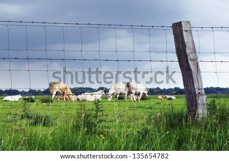 A group of cattle on the meadow behind a fence. - stock photo