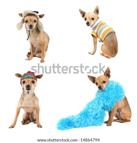 a group of chihuahuas dressed in various costumes - stock photo