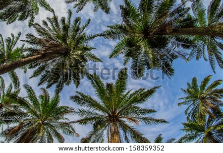 A group of coconut tree tops with sky and clouds.