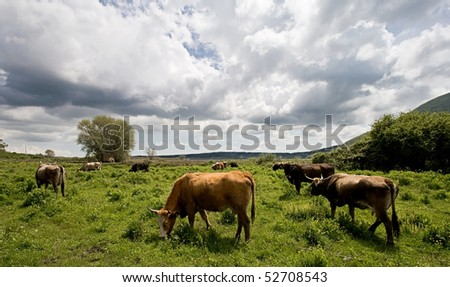 a group of cows grazing in the field near Vico's lake (IT)