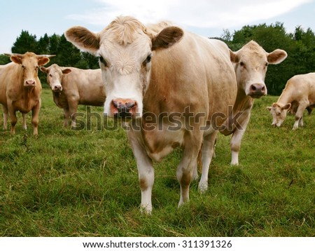 A group of cows stand in the grass staring curiously directly at the viewer.  - stock photo
