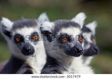 A group of cute looking ring-tailed lemurs (focus on  monkey in the middle) - stock photo