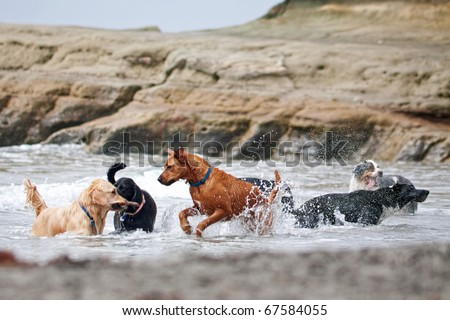 A group of dogs of different breeds playing in the ocean - stock photo