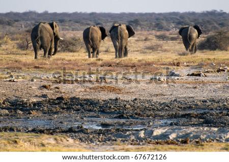 A group of elephants at Etosha National park, Namibia - stock photo