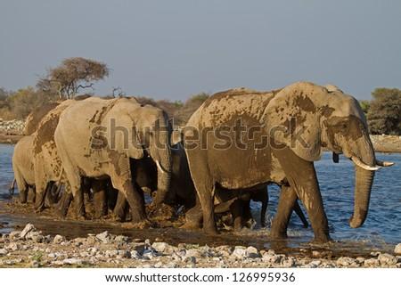 A Group of Elephants at waterhole; Loxodonta Africana - stock photo
