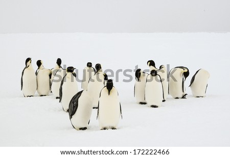 A group of emperor penguins grooming their feathers - stock photo