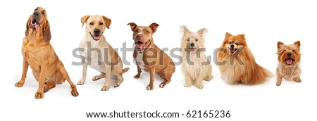 A group of five dogs of popular breed from large to small. Isolated on white. - stock photo