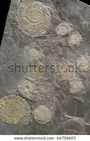 A group of fossilized ammonites. - stock photo