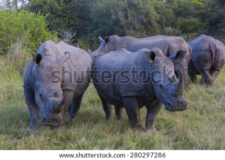 A group of four rhinos in the early morning light