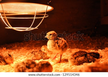 A group of freshly hatched turkey poults rests under a brooder lamp.  One poult is on its feet, looking for a midnight snack.  These are broad-breasted bronze poults, about 3 days old. - stock photo