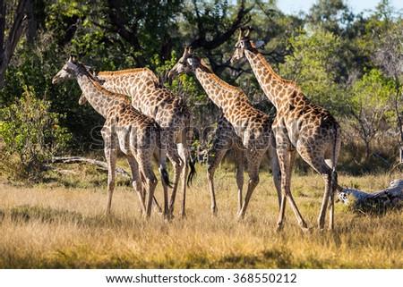 A group of giraffe walking in african bush. Moremi game reserve, Botswana. - stock photo