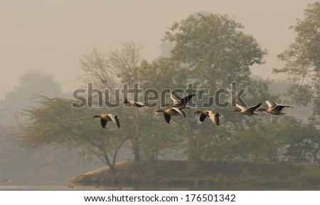 A group of Greylag Goose in flight - stock photo
