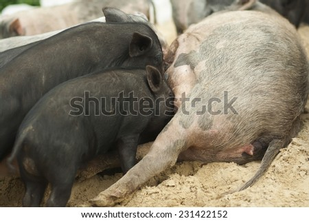 A group of hungry piglets fighting to get their fair share of milk.  . Feeding process - stock photo