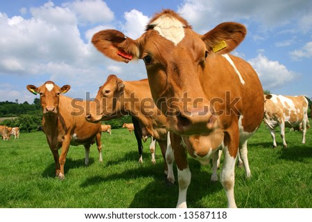 A group of Jersey cows in pasture photographed at close quarters - stock photo
