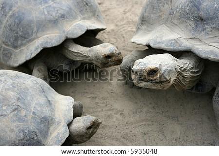 A group of juvenile giant Galapagos tortoise - stock photo