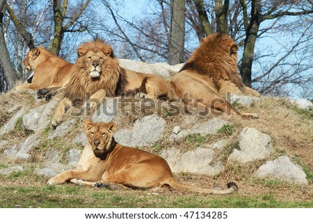 a group of lions and lionesses - stock photo