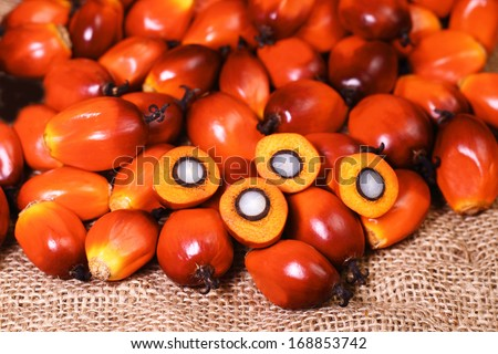 A group of oil palm fruits on the sack bag - stock photo