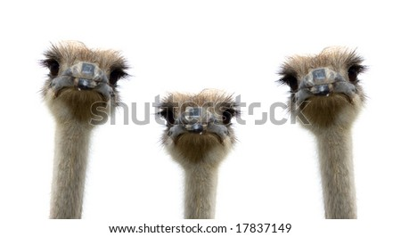 A group of ostriches isolated on white background - stock photo