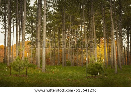 A group of pine trees with colorful golden trees behind it at the Morton Arboretum in Lisle, Illinois in autumn.
