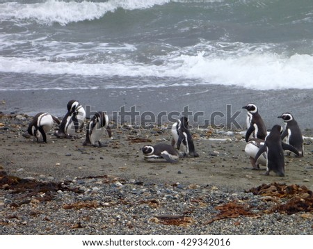 a group of pinguins on a shore in seno otway reservation in chile