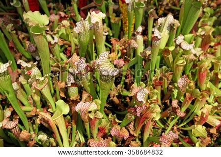 A group of pitcher plants growing together