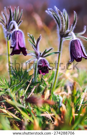 A group of Pulsatilla montana blooming on spring meadow in Hungary. Fine blurred natural background color - stock photo