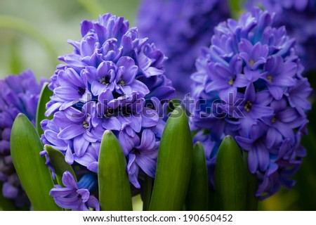 A group of purple or blue Hyacinth flowers in bloom - stock photo