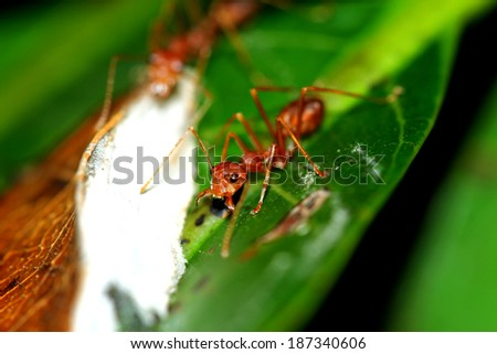 A group of red ants on leaf - stock photo