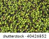 a group of ripe olives ready to be processed into oil - stock photo