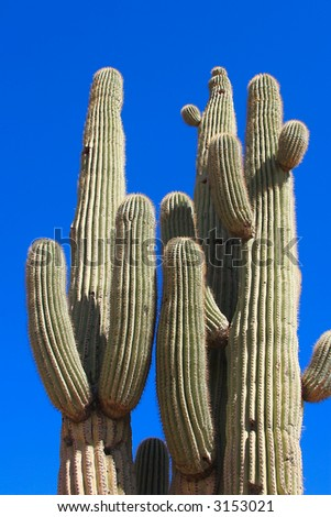 A group of Saguaro Cacti in the Sonoran desert of Arizona show some of the myriad shapes and designs inherent in this species.