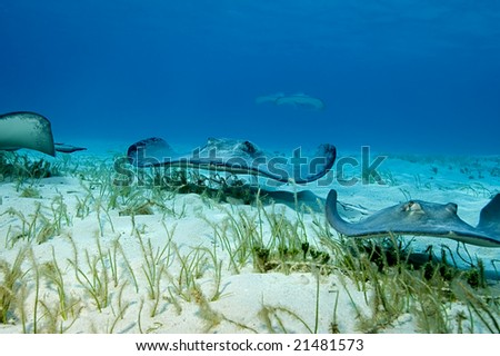 A group of stingrays patrol the grassy shallows of Stingray City, Grand Cayman like a wave of alien stealth bombers. - stock photo