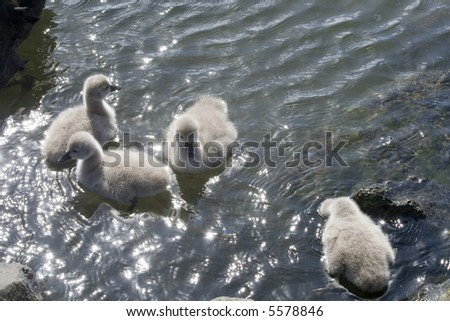 A group of Swan Cygnets in the water