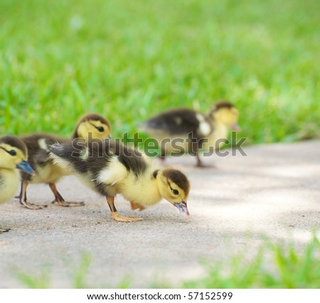 A group of sweet ducklings looking for food outside in the summer with copy space.  Focus is on the duckling in the front. - stock photo