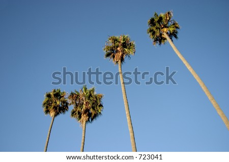 A group of tall palm trees - stock photo