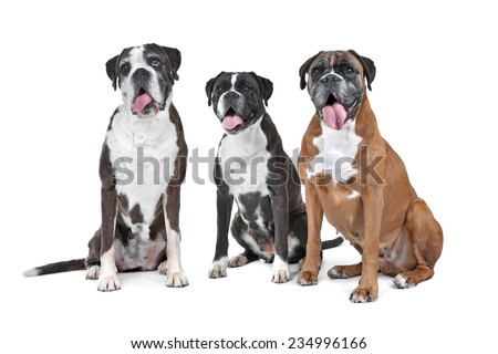 a group of three boxer dogs sitting in front of a white background - stock photo