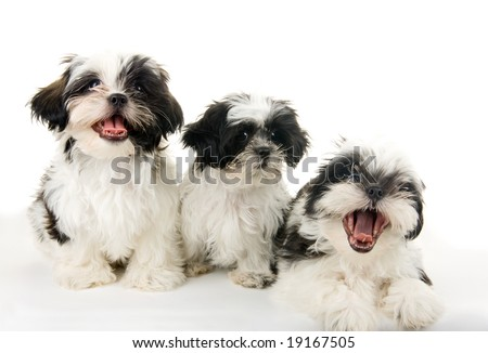 A group of three happy, playful Shih Tzu puppies.