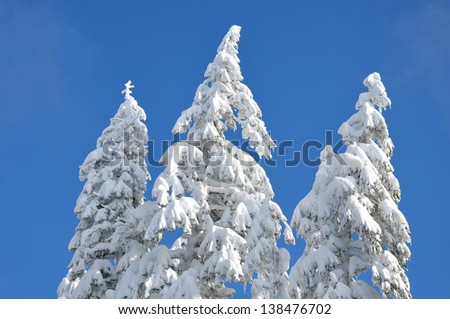 A group of three snow-covered trees against a blue sky