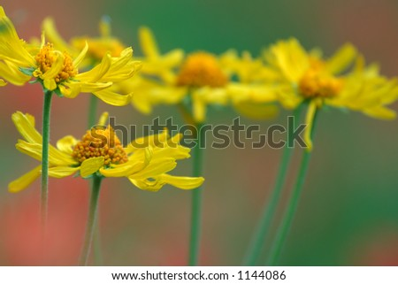 A group of wild daisies with out of focus red paintbrush growing in the background. - stock photo