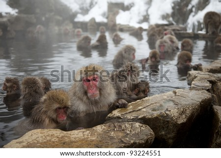 a group of wild snow monkeys or macaques in an onsen, nagano japan - stock photo