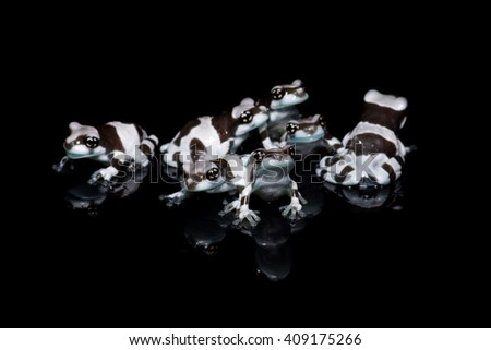 A group of young Amazon milk frogs or Mission golden-eyed tree frogs (Phrynohyas resinifictrix) close-up on black background with reflection