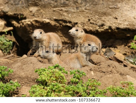A group of young Black-Tailed Prarie Dogs looking out of their den
