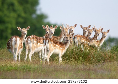 A group of young fallow deer in the springtime - stock photo