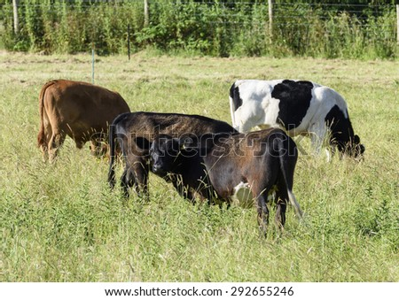 A group of young pedigree Dexter heifers grazing in a field on the Somerset levels. The long grass provides a visual clue to the size of Britain smallest breed of cattle. - stock photo